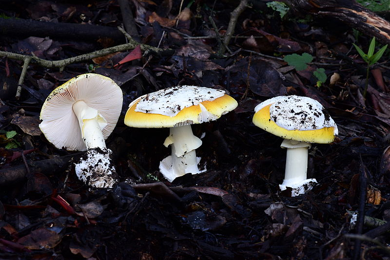 File:Amanita capyotroderma group Oakland.JPG