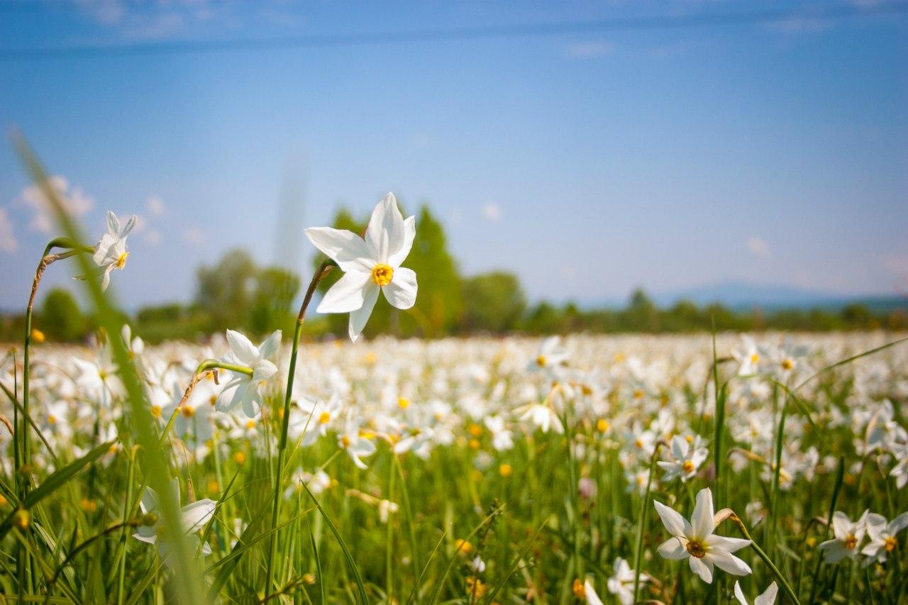 де цвітуть подивитися цвітіння нарциси
