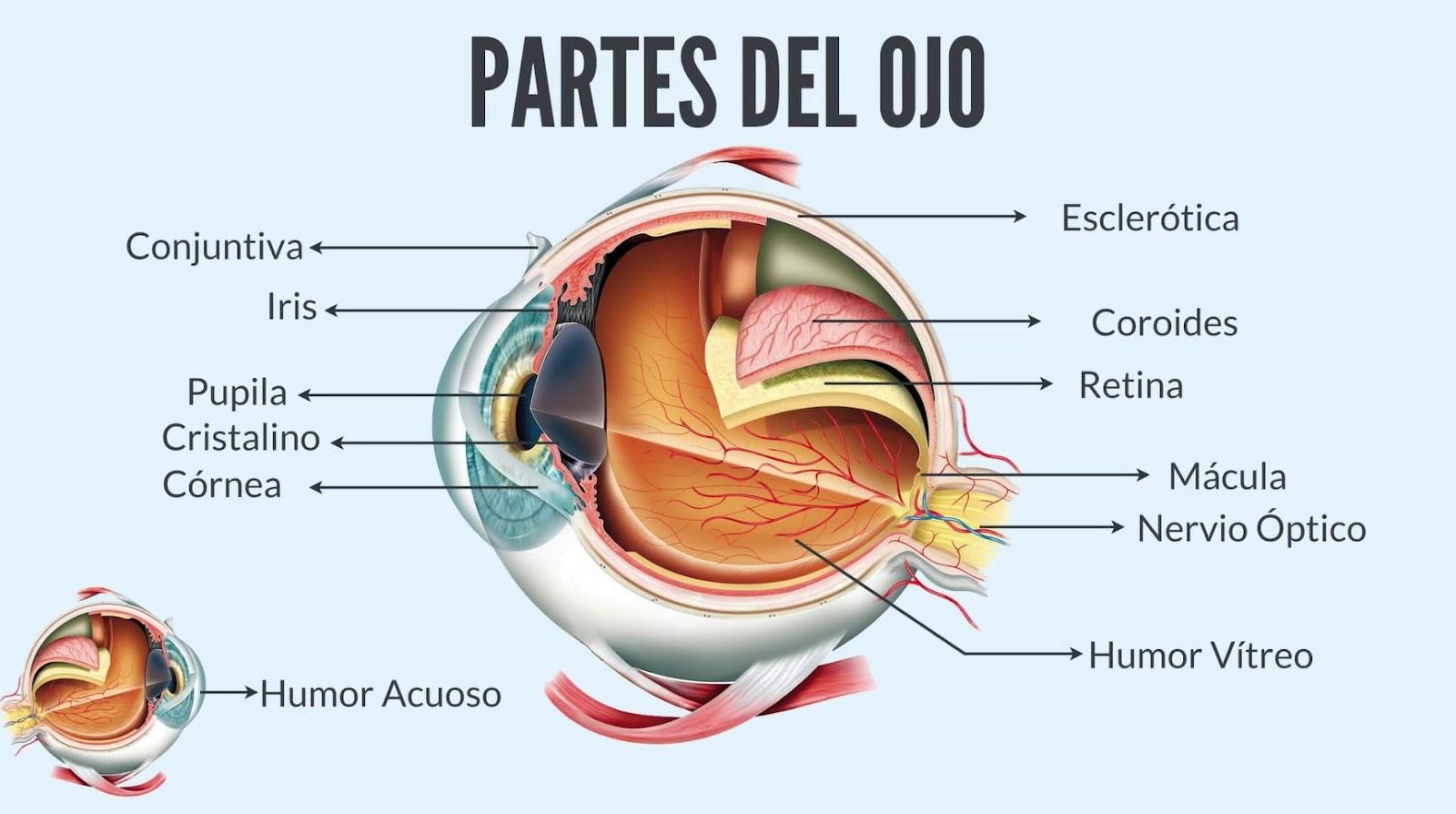 Resultado de imagen de cornea ojo