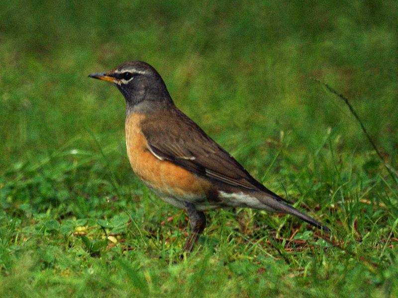https://upload.wikimedia.org/wikipedia/commons/thumb/7/76/Turdus_obscurus.jpg/800px-Turdus_obscurus.jpg