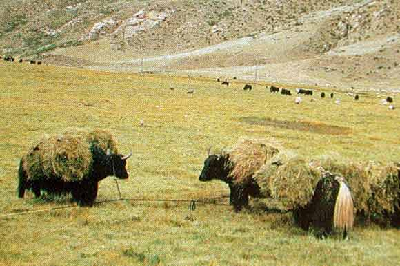 Yaks are used for farm transportation.