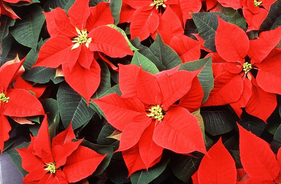 рождественский цветок ядовит (1).jpg