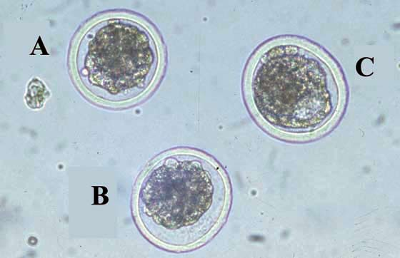 Evaluation of bovine embryos must be done at 50 to 100 X magnification, with embryos in small culture dish. A and B are IETS quality code 1 (good and excellent) morulae while C is an IETS quality code 1 early blastocyst [IETS Manual].