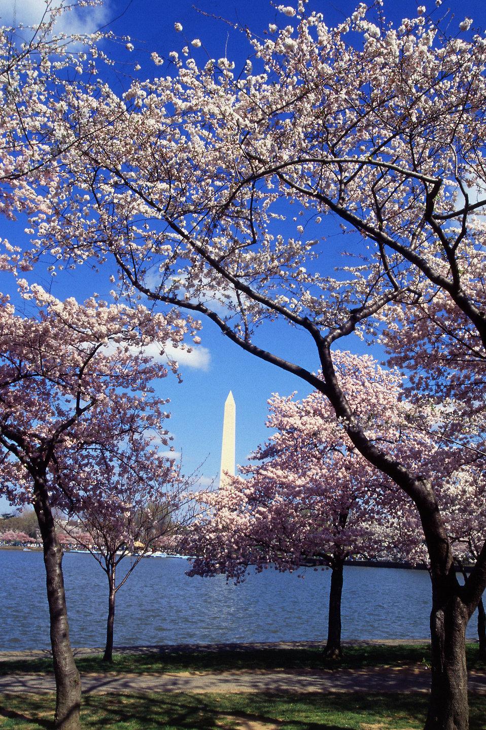 http://res.freestockphotos.biz/pictures/11/11050-resplendent-cherry-trees-from-japan-ring-the-tidal-basin-at-washington--pv.jpg