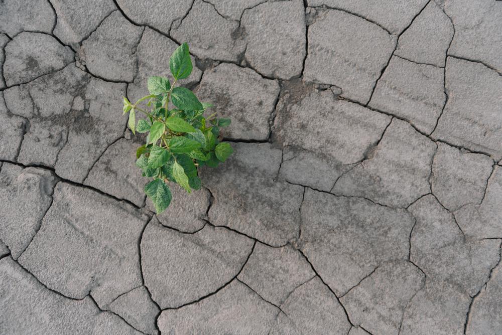 Seca tem gerado dificuldade no desenvolvimento da soja e necessidade de replantio. (Fonte: Shutterstock)