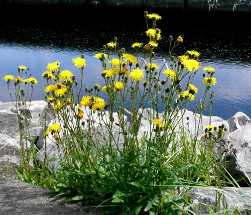 http://www.british-wild-flowers.co.uk/00%20Tom%20Law/Sow-Thistle-Perennial-2.jpg