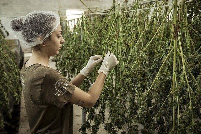 cannabis-4688511_640 (1).jpg