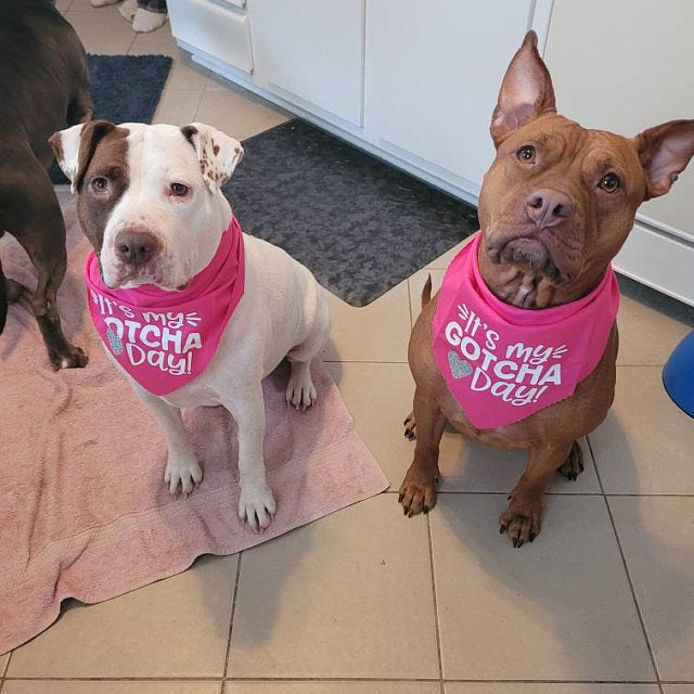 """A brown dog and a white dog wearing pink bandanas that say """"It's my Gotcha Day!"""""""