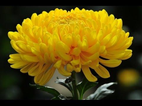 Chọn hoa có màu vàng và đỏ – là những màu tượng trưng cho nhà Phật như cúc vàng, hồng đỏ