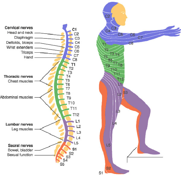 Nerve Map with Locations