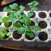 2 week seedlings - good summercrisp and toy choi, poor showing on the six flowers - only got four