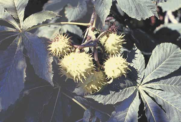 Horse chestnut fruits