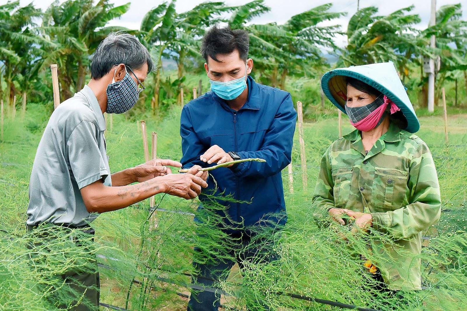 6. Theo ông Nguyễn Văn Minh (thôn Tân Phong, xã Tân An), gia đình ông trồng măng tây được 5 tháng, đến nay đã cho thu hoạch. Mỗi ngày thu từ 4-5 kg, giá bán dao động từ 40-45 ngàn đồng/kg, mang lại nguồn thu cao gấp 2-3 lần các loại rau khác.