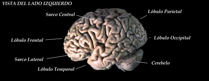 Visão do lado esquerdo do cérebro