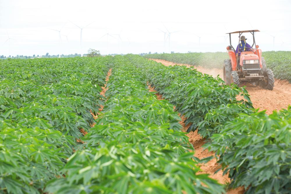 Todo o cultivo da mandioca pode ser mecanizado. (Fonte: Shutterstock/Photo APS/Reprodução)