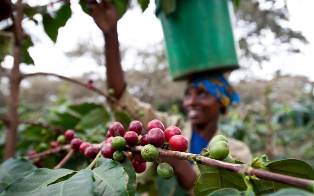 cosechando cafe