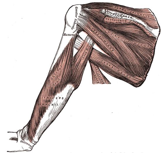Anatomisches Bild der Schultermuskeln