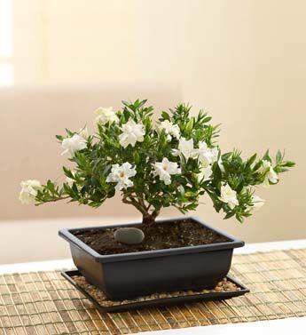 Conclusão como cuidar de um bonsai