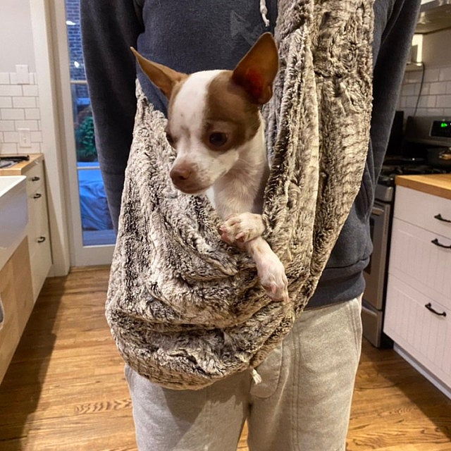 Brown and white Chihuahua in a faux fur dog sling.