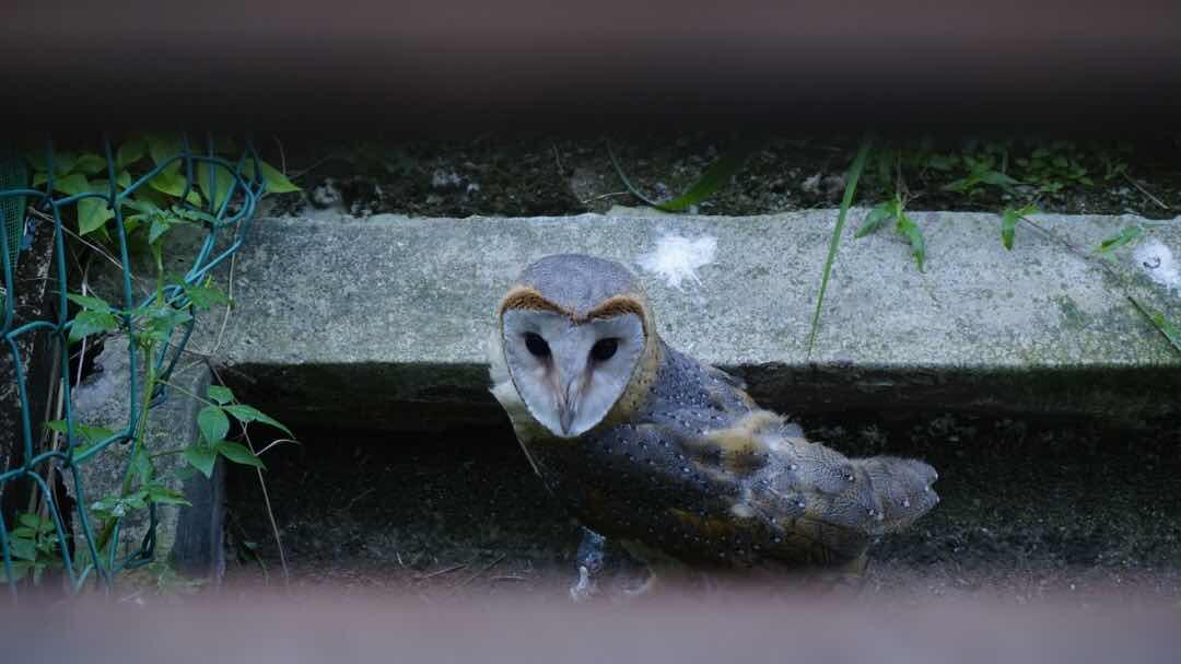 barn owl Malaysia