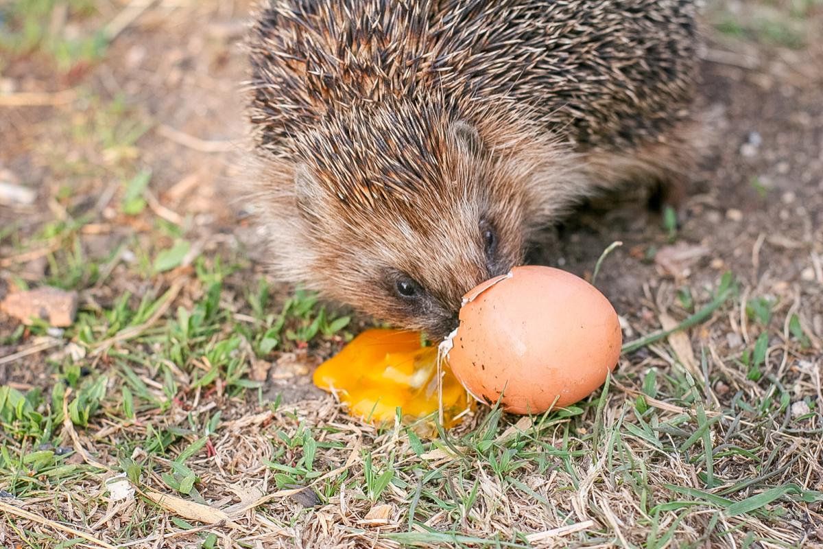 hedgehogs and ground nesting birds