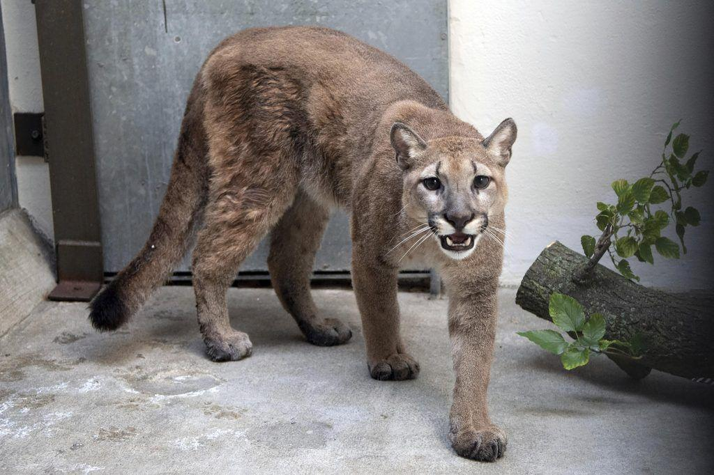 Cougar that was kept as illegal pet removed from NYC home - ConsumersAdvisory.com