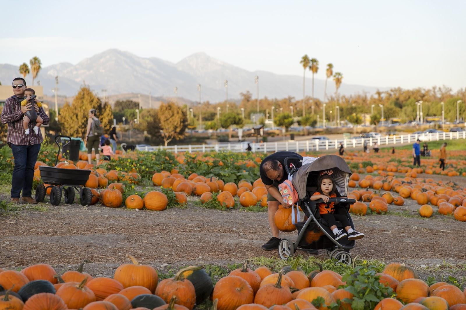 Families picking out pumpkins