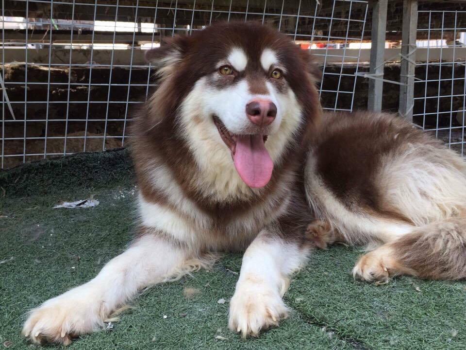 Bệnh care ở chó - Câu chuyện hồi phục thần kỳ của cún con Alaska may mắn - Ảnh 1