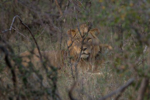 Animais selvagens da África do Sul -Leão mais velho atrás de uma árvore.