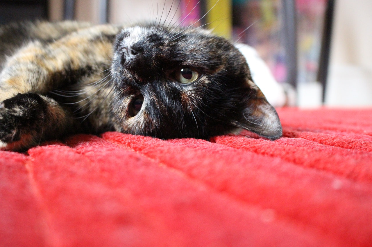 How to get rid of cat pee smell on carpet using natural, home-mad cleaners or enzymatic cleaners