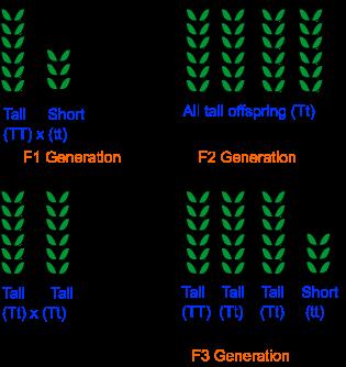 mendel monohybrid cross