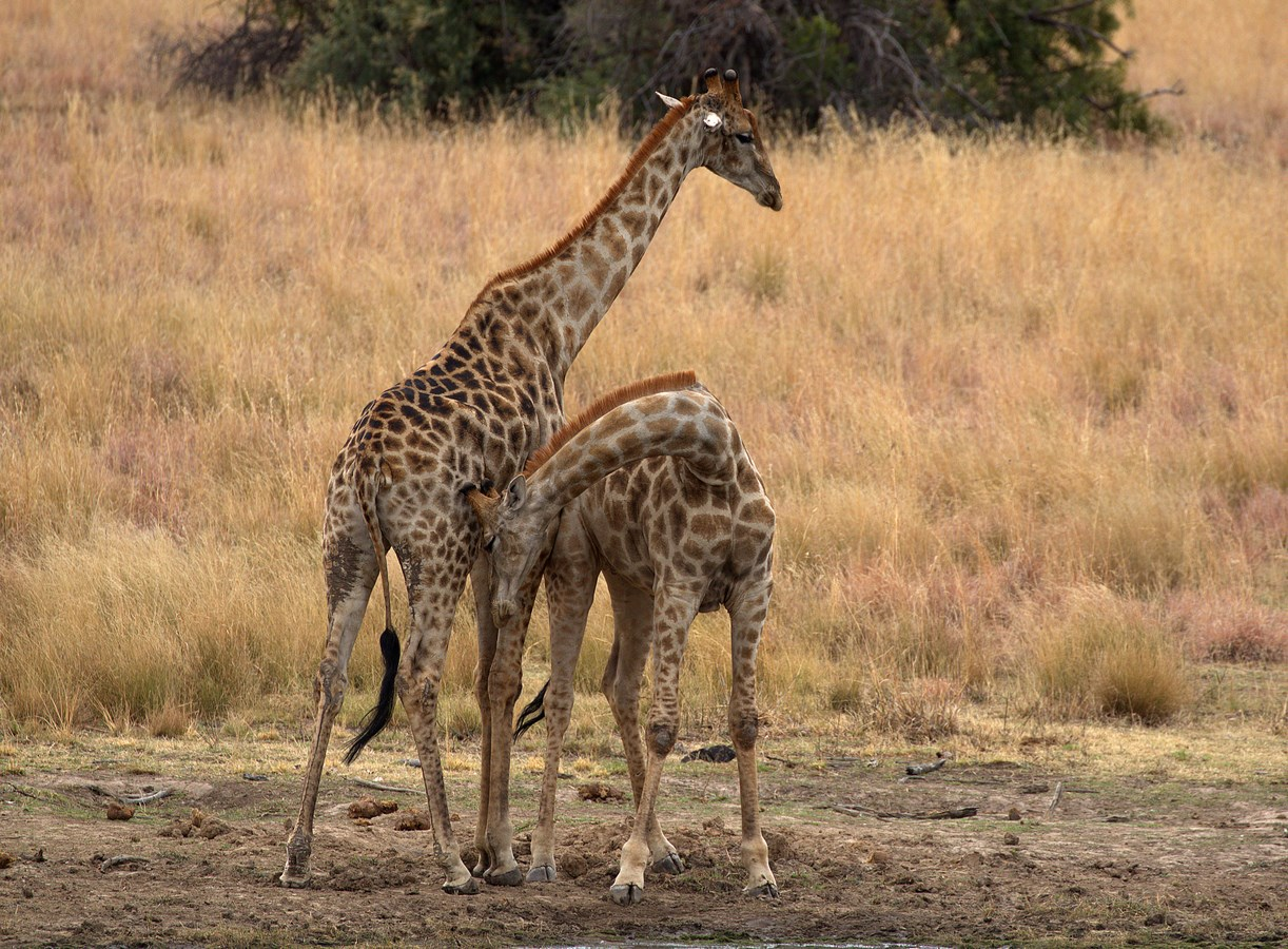 cuddling giraffes 4 (Copy).jpg
