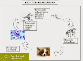 Leishmaniosis. Ciclo vital