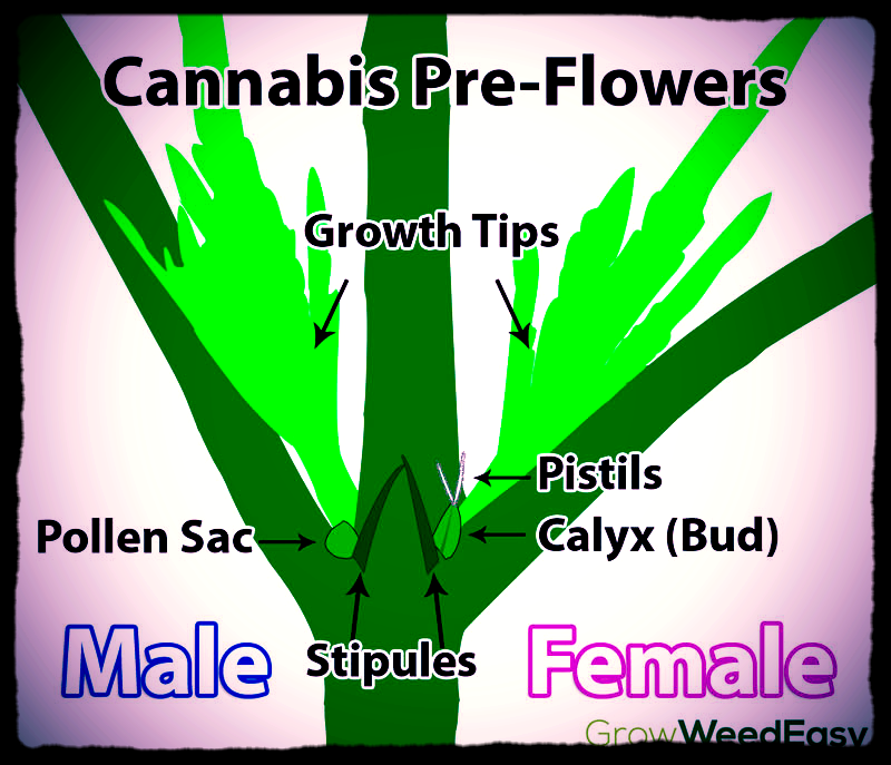how to tell male from female cannabis