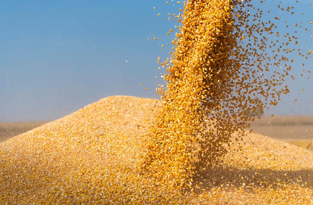 O milho foi uma das culturas cujo manejo foi atualizado segundo as novas normas aprovadas no Mercosul. (Fonte: Fotokostic/Shutterstock)