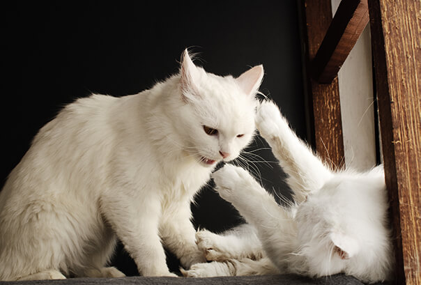 white cats fighting