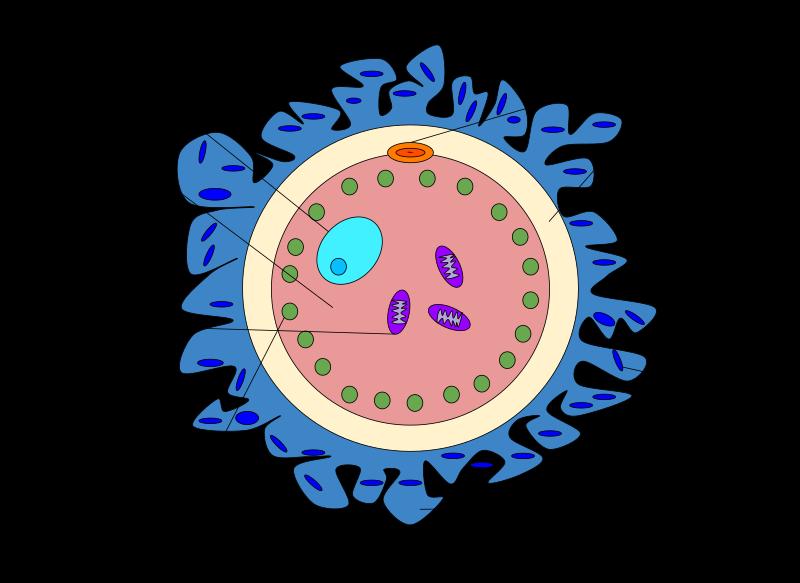 A schematic diagram of a female egg
