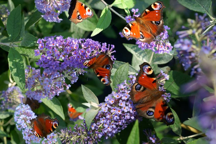 Niebieski kolor w ogrodzie 3