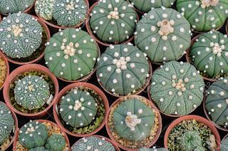 Astrophytum Asterias แอสโตรไฟตั้ม แอสทีเรียส