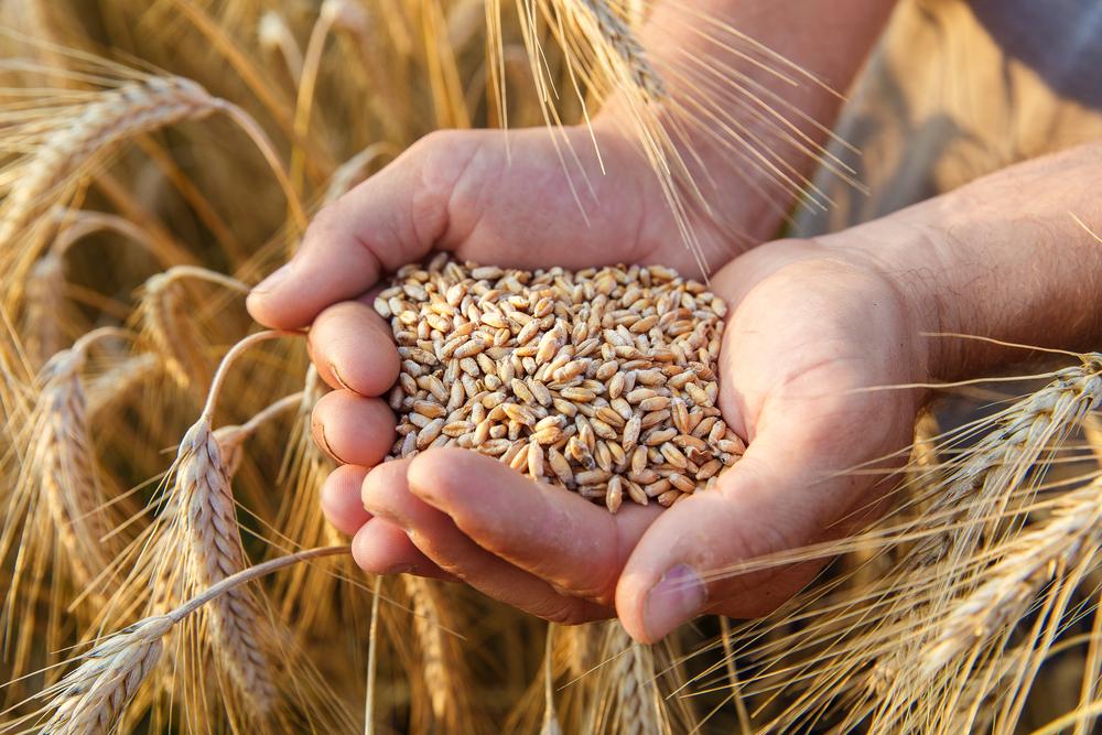 O trigo é uma ótima opção, mas é importante buscar as cultivares mais nutritivas. (Fonte: Frolova Elena/Shutterstock)