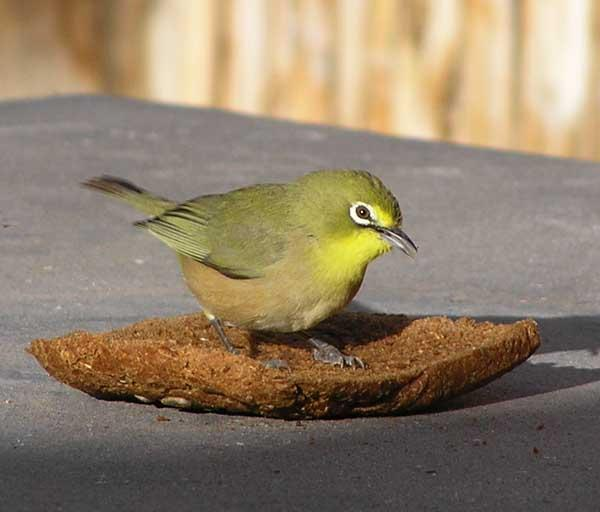 File:Cape-white-eye-001.jpg