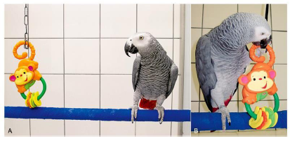 "This hand-raised African grey parrot on the left (Psittacus erithacus) was presented with a novel object, a child's teething toy in the shape of a monkey. Although the bird did not panic, it was reluctant to approach this new toy. The reluctance to approach a novel object is referred to as ""neophobia"" (image courtesy Yvonne Van Zeeland, in Speer: Current Therapy in Avian Medicine and Surgery)."
