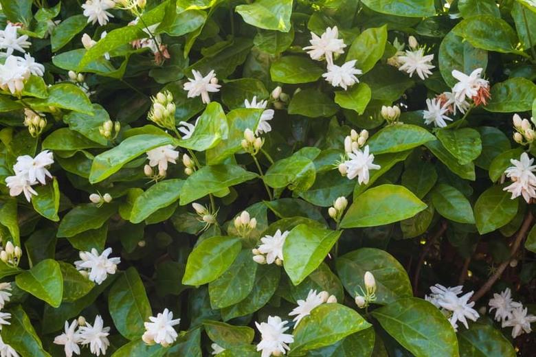 Arabian Jasmine (Jasminum Sambac) - Mogra