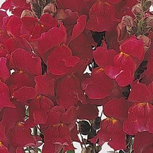 Image result for snapdragon solstice red