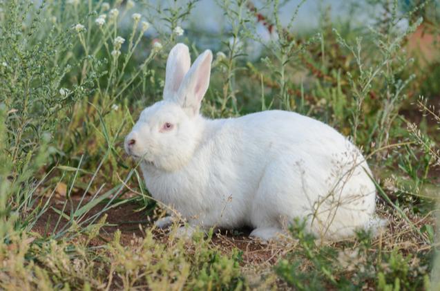 Image result for blanc de bouscat