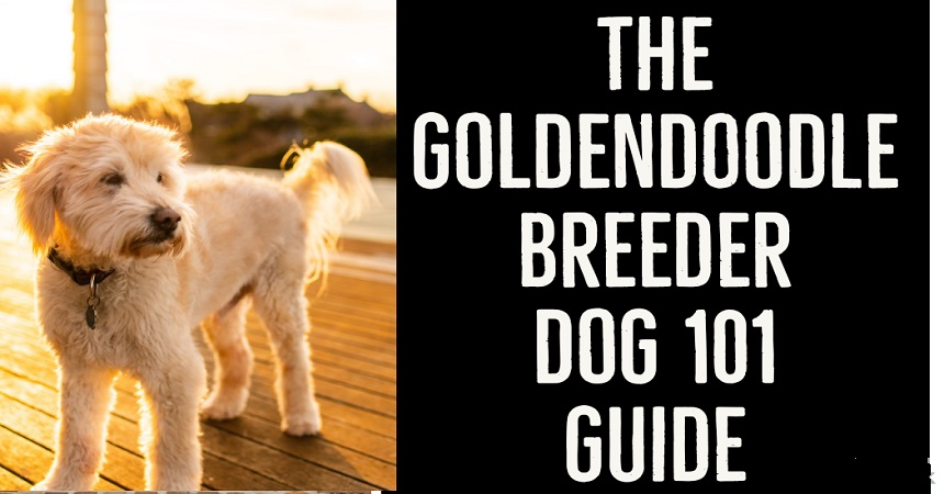 The Goldendoodle Breed Dog 101 Guide