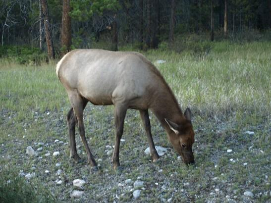http://backup-mw-xp.de/images/Canada2009/caribou.jpg