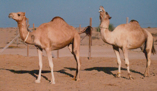 Oestrous behaviour in the female dromedary. Note the raised tail and the flehmen reaction of the male after sniffing her urine and vulva.