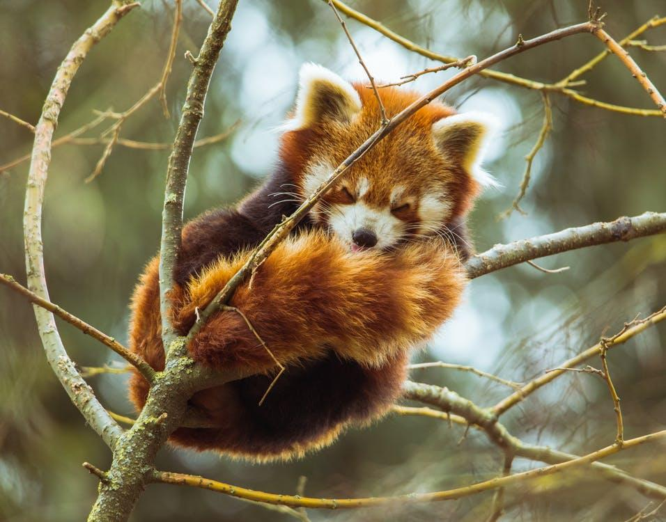 Photo of Red Panda Sleeping on Tree Branch