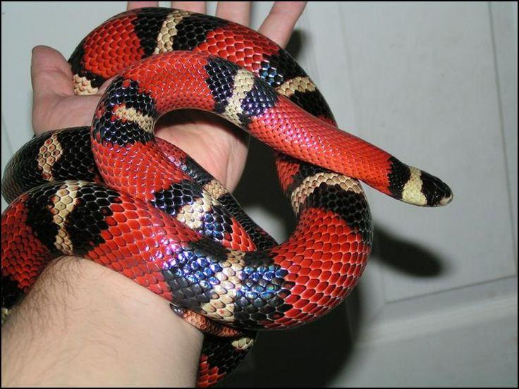 Image result for mexican milk snake